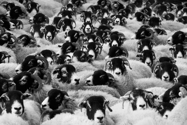 flock-of-sheep-11297062828f55